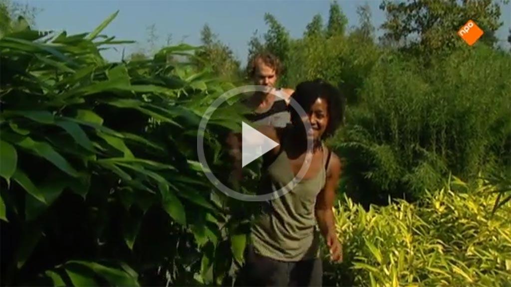 Bamboekwekerij Randijk bij Klokhuis