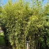 Fargesia robusta 'Campbell'