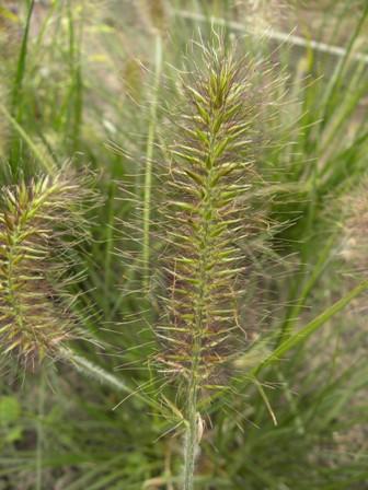 Pennisetum alopecuroides_2