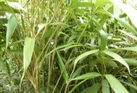 Pseudosasa japonica_2