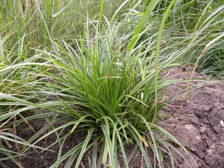 Carex morrowii 'Variegata'_2