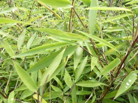 Fargesia x dracocephala_2