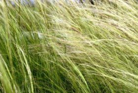 Stipa ten. 'Pony Tails'