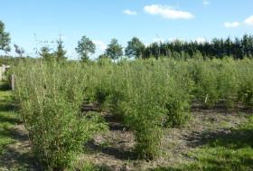 Bamboe in de zon.