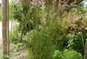 Calamagrostis ac. 'Karl Foerster'