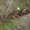 Calamagrostis ac. 'Karl Foerster'_2