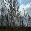 Calamagrostis ac. 'Karl Foerster'_3