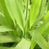 Chasmanthium latifolium_3