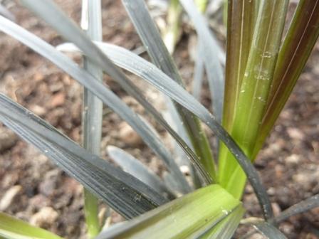 Ophiopogon plan. 'Niger'_2