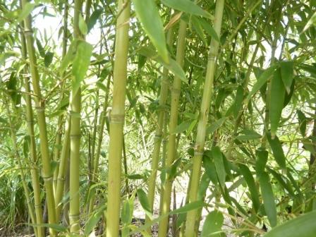 Phyllostachys atr. 'Green Perfume'_2