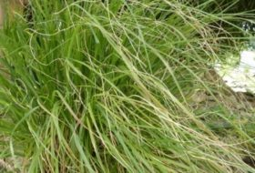 Deschampsia cesp. 'Goldtau'