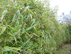 Bamboe als haag