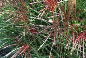 Miscanthus sin. 'Kleine silberspinne'