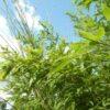 Bamboe planten