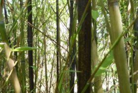Phyllostachys nigra_2