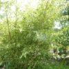 Woekerde bamboe Phyllostachus parvifolia. Een zeer sterk soort!