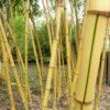 Woekerende bamboe