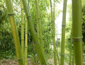 Bamboestengels voordat ze geoogst worden.