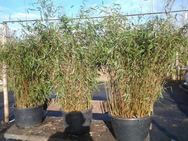 huur bamboe breed