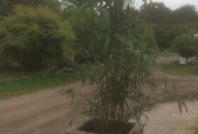 bamboe in steigerhouten bak