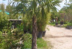Huur Palmboom